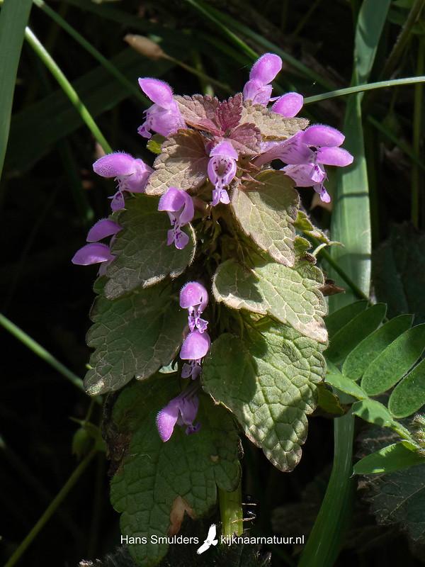 Paarse dovenetel (Lamium purpureum)-820_6078