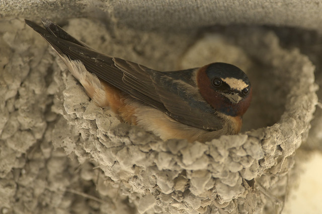 Cliff Swallow | Nesting