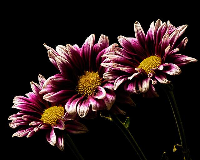 Purple White Mum Trio 0511