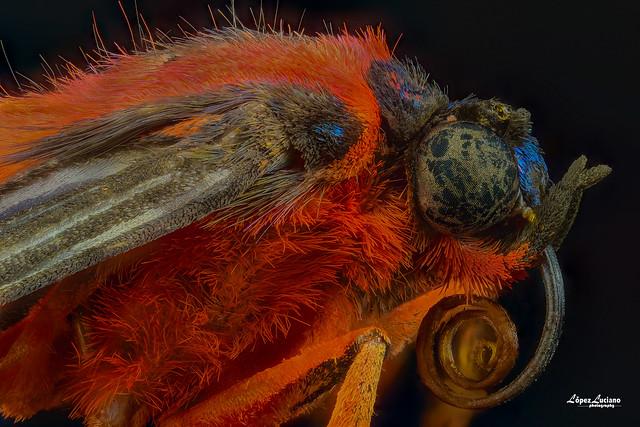 Foto macro extremo de insectos de Repùblica Dominicana:Cosmosoma achemon.
