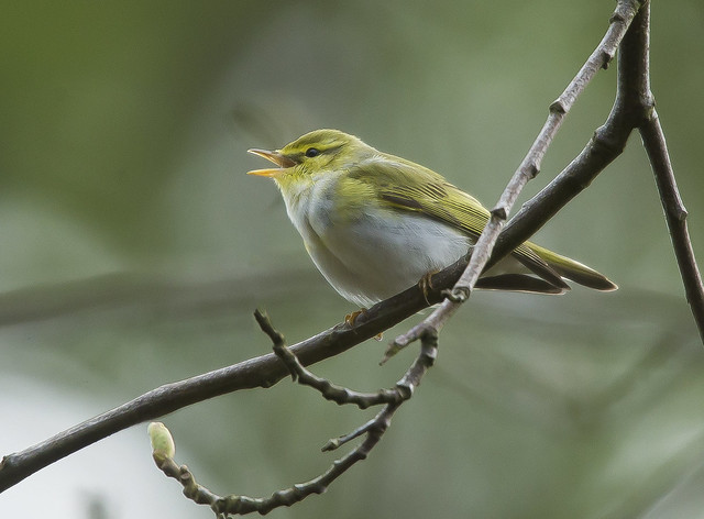 Wood Warbler  Yorkshire England May 2021