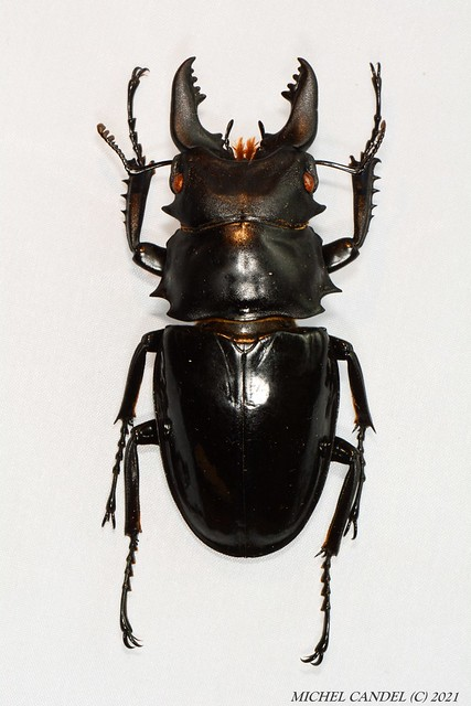 Odontolabis siva (Hope et Westwood 1845) - Lucanidae - Doi saket CHIANG MAI - THAILANDE