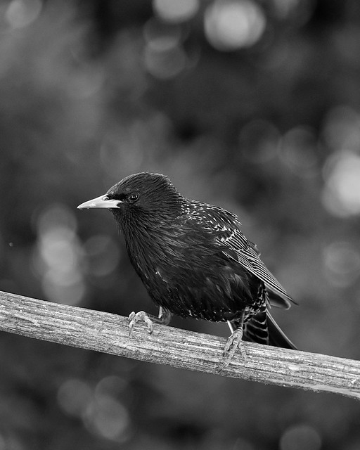 Starling bird in black and white