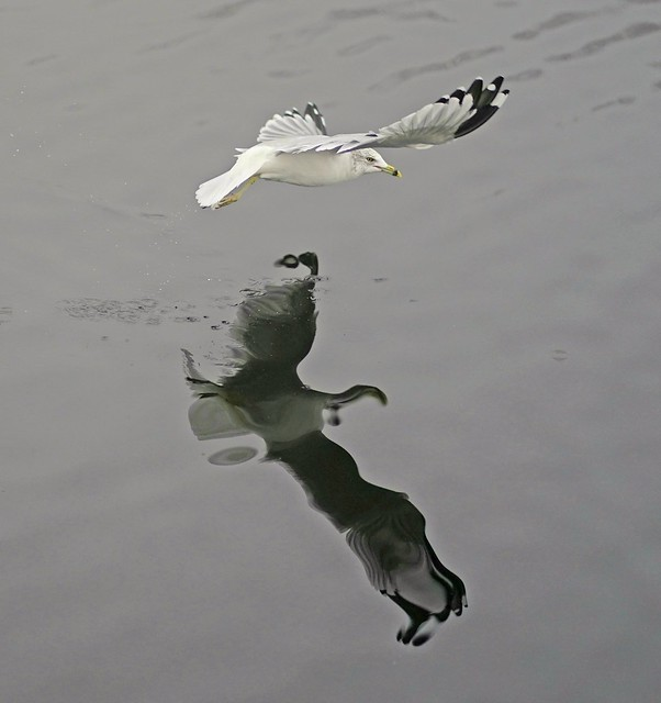 Ring billed gull's Picasso reflection, reservoir ,Central park.