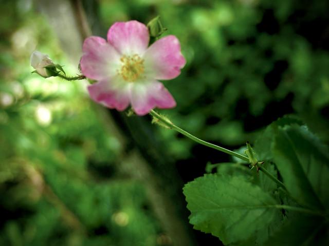 Rosa 'Ballerina' (Hybrid Musk Rose)