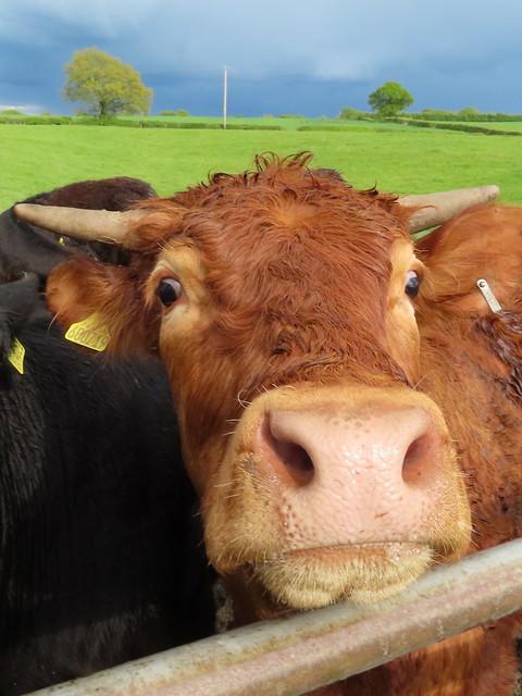 Cow-eyed Poser.