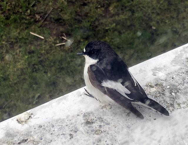 flycatcher_6841