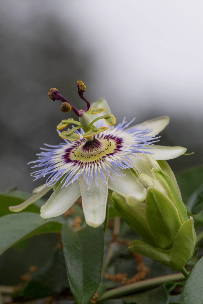 Passion Fruit Flower in Bloom at The Huntington Library.