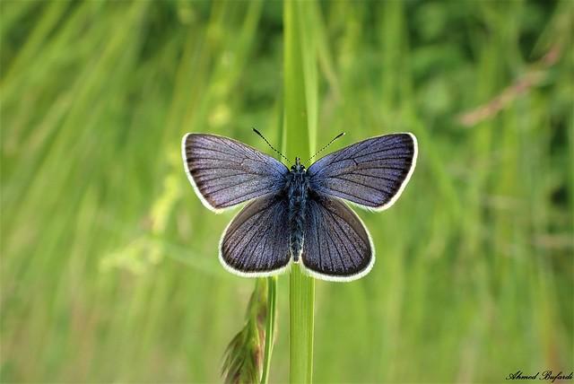 Butterfly 2102 (Cyaniris semiargus)