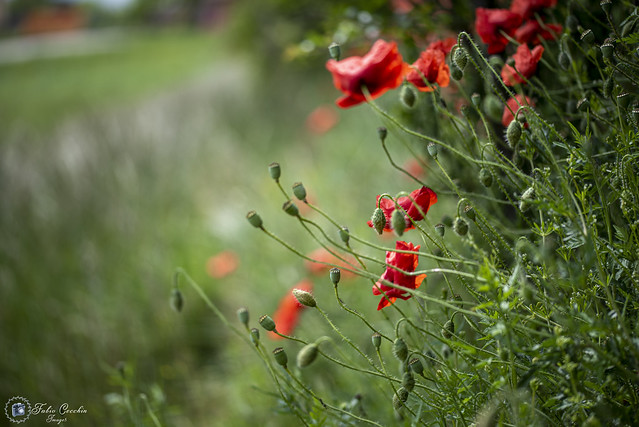 Poppies view.