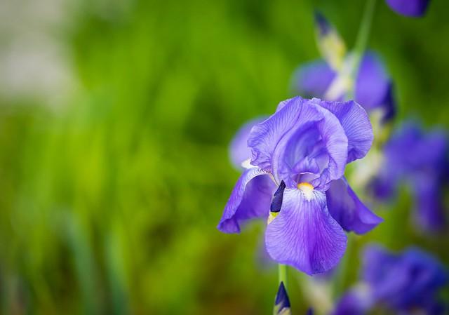"""""""...Wild Iris blooms By itself In the dark forest""""..."""