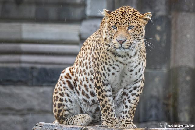 Javan Leopard