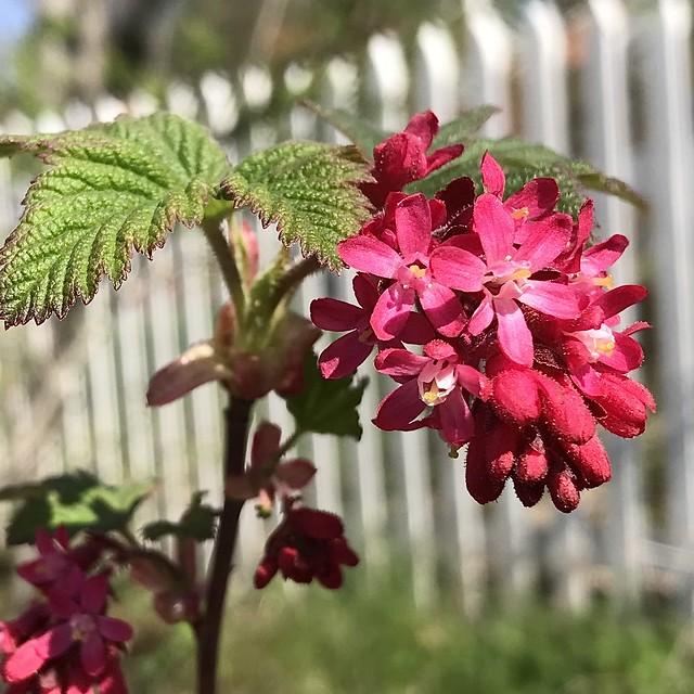 Redflower Currant