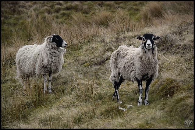 Old Moorland Gritstone Ewe`s.