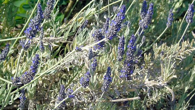 6_Lavandula angustifolia