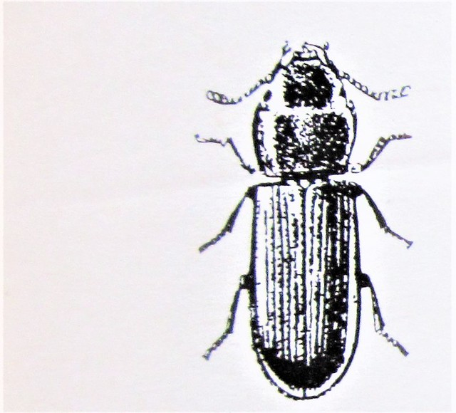 Tenebroides mauritanicus --  Cadelle Beetle