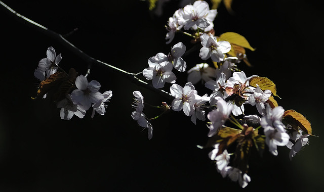 The cherry blossoms.