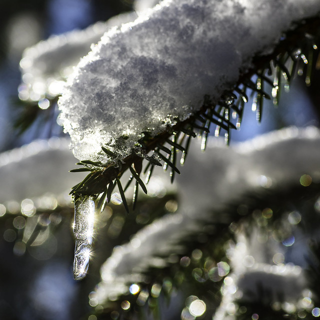 Icicle on a Fir branch