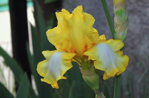 Iris 'Lemon Fever' - Maryott 1988 51174986197_5a43606802