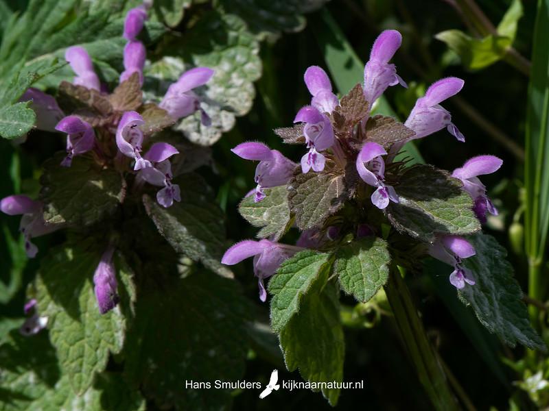 Paarse dovenetel (Lamium purpureum)-820_6087