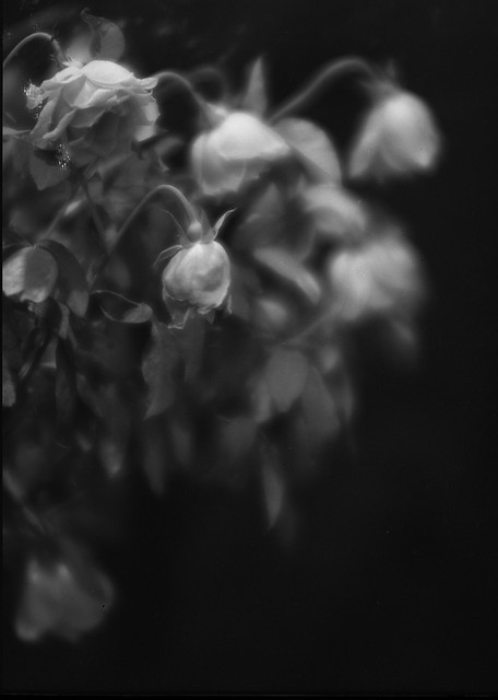 Dying rose