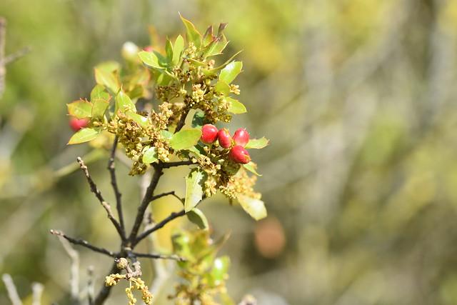 Agallas de Plagiotrochus quercusilicis en Quercus coccifera