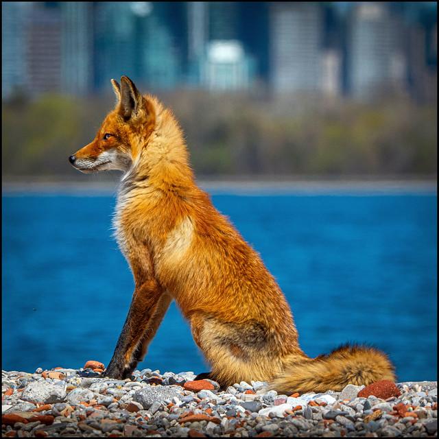 Fox City