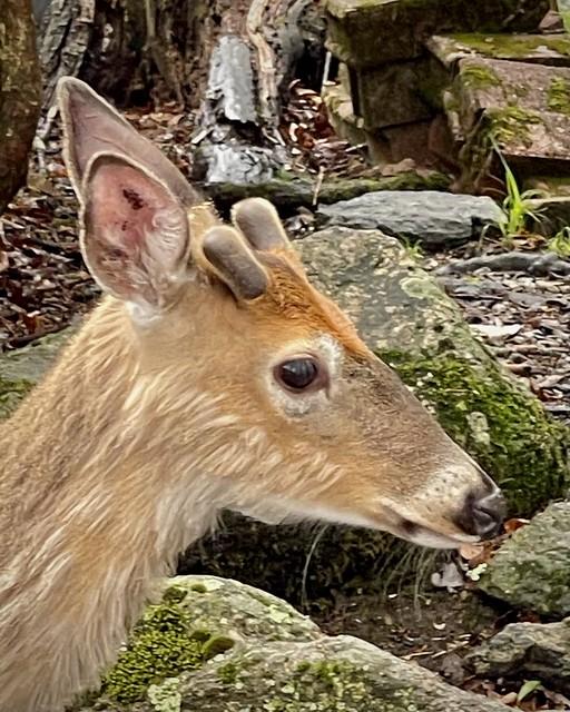 Velvety Spike-horn Whitetail