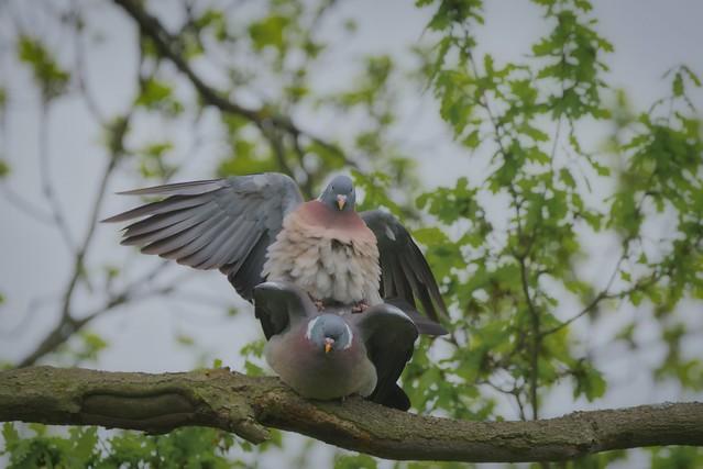 Tauben/Pigeons