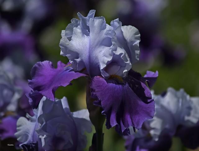 iris you a happy day