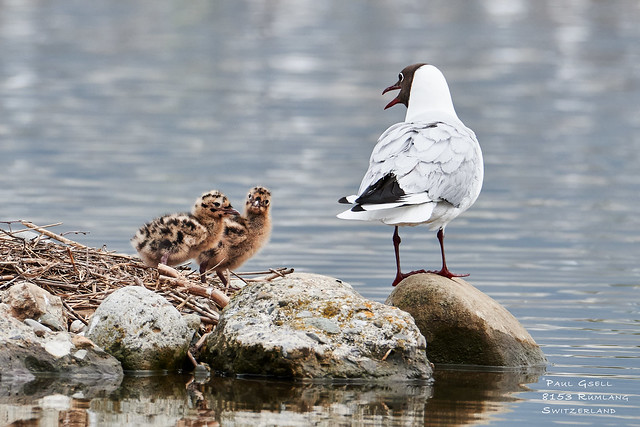 Lachmoewen - Black-headed gulls