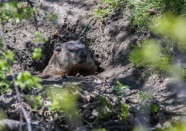 Marmotte/Groundhog-PM5_3056