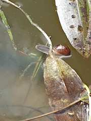 Snails get everywhere. Even into the pond.