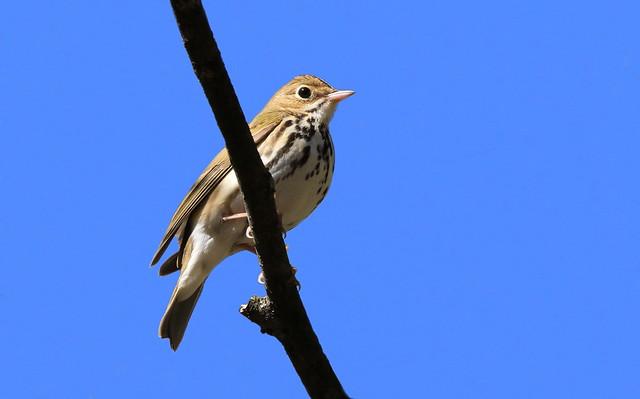 Ovenbird- Paruline couronnée ( Diane )
