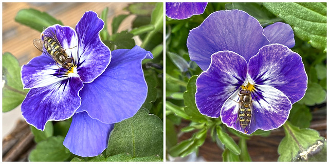 Viola and the Hoverfly