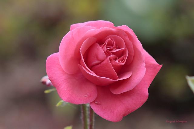 Rosa IMG_6800