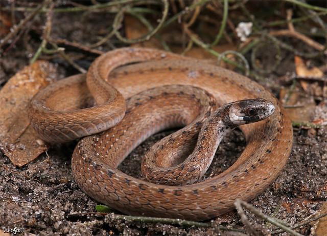 Florida Brown Snake (Storeria victa)