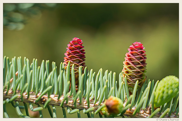 Red Pinecones