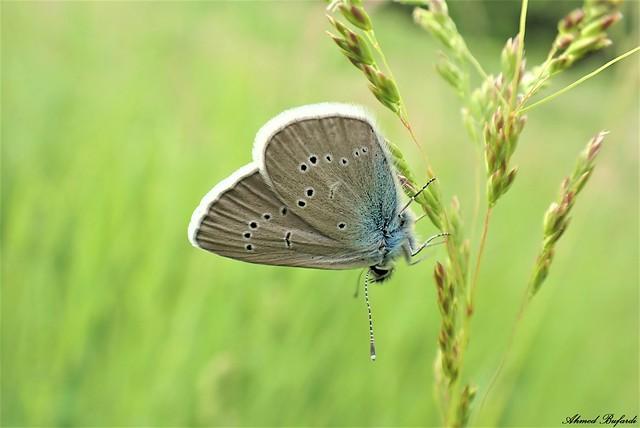 Butterfly 2101 (Cyaniris semiargus)