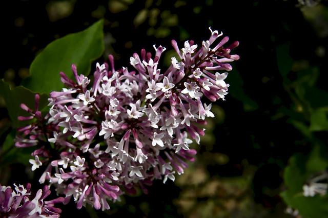 lilac fragrance ummm!