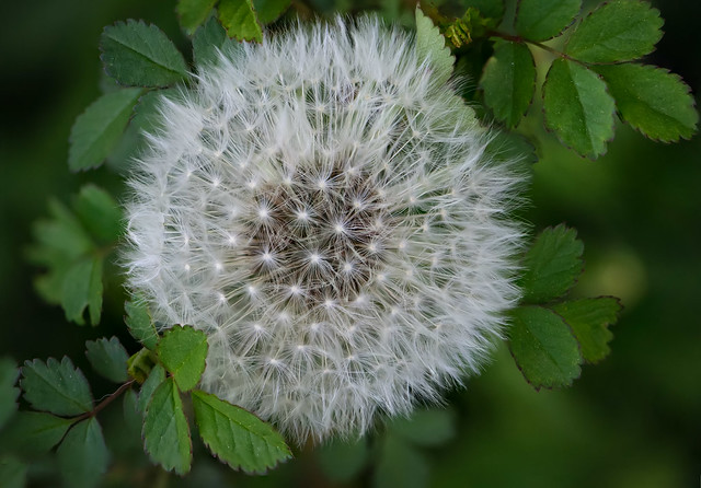 Dandelion and the Roses