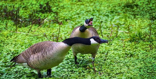 Canada Geese Conversation