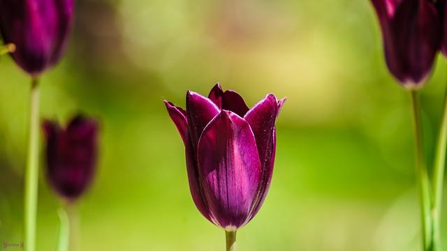 9730 - Tulip