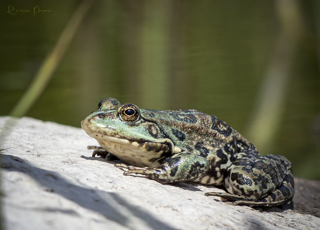 Lake frog. Ukraine, Zaporozhye.