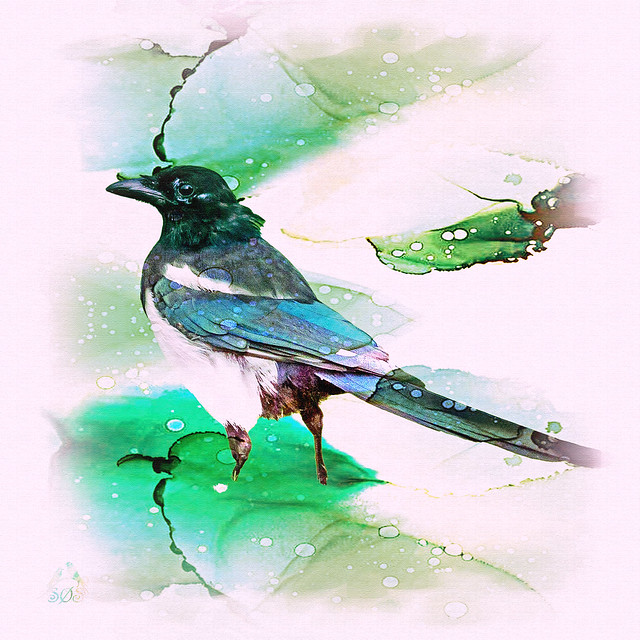 Husskade - Eurasian Magpie - Pica pica -9602