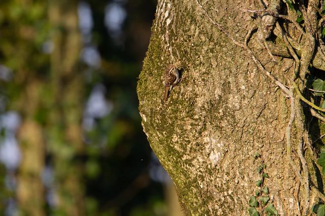 can you see me - Treecreeper (Certhia familiaris)