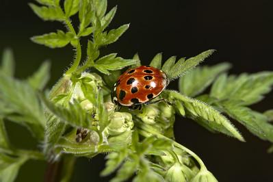 eyed ladybird (Anatis ocellata)