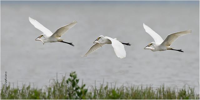 Great Egret (Ardea alba) 大白鷺 - 260421_DSC8702-3-5n