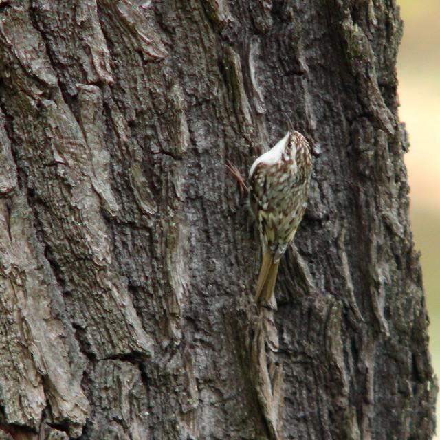 Eurasian treecreeper, Certhia familiaris, trädkrypare