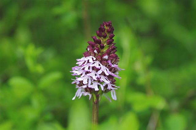 Kent's Lady Orchids....